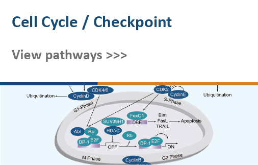 Cell Cycle/Checkpoint