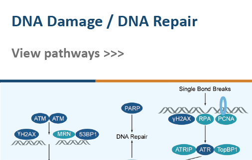 DNA Damage/DNA Repair
