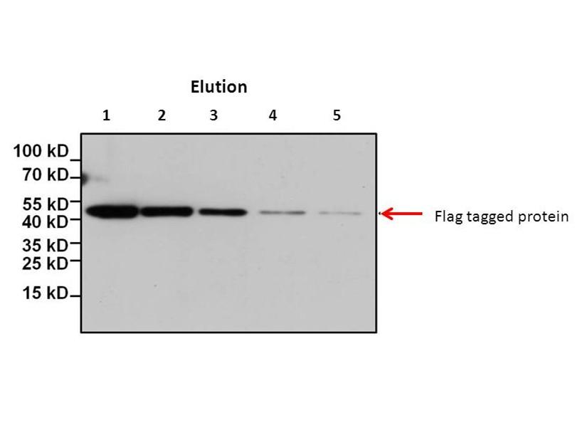 3X FLAG Peptide