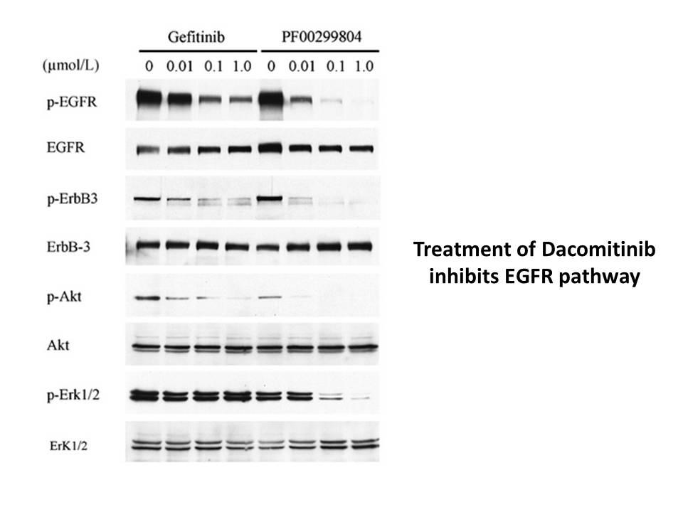 Dacomitinib (PF299804, PF299)