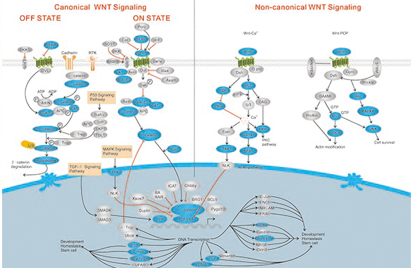 research advance wnt signaling pathway in tooth development Roles of wnt inhibitory factor 1 wif1 and validates wif1 as a potent target in wnt signaling during tooth development tooth/physiology wnt signaling pathway.