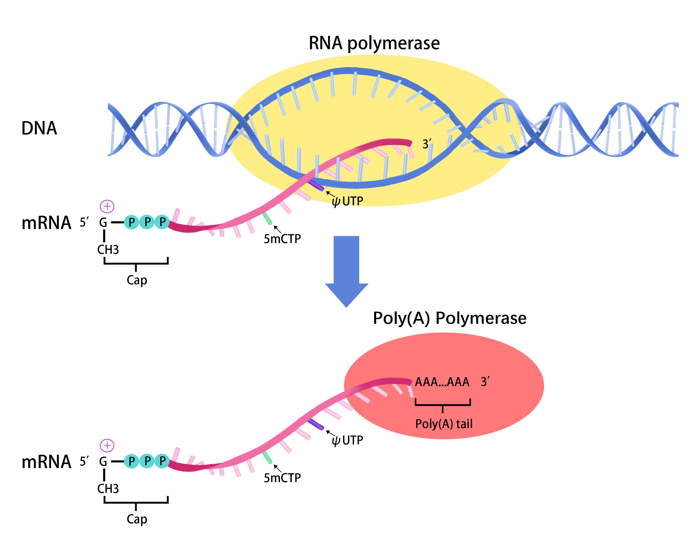 APExBIO - RNA - Molecular Biology