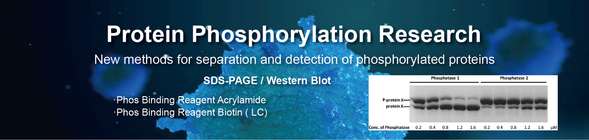 protein phosphorylation research