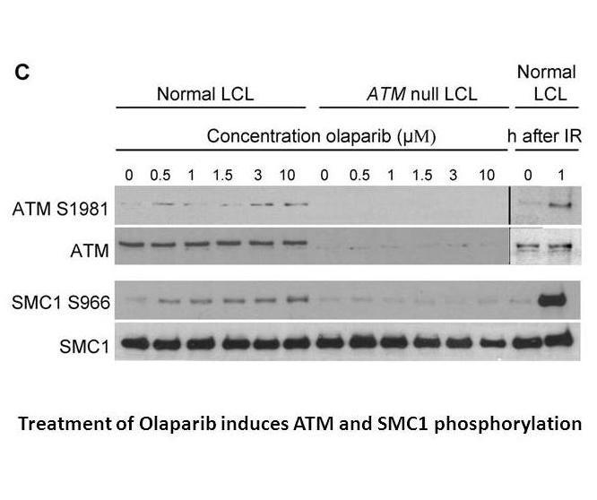Olaparib (AZD2281, Ku-0059436)