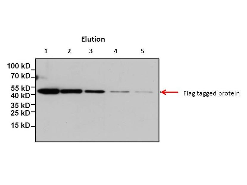 FLAG tag Peptide